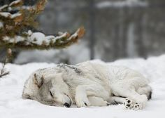 I love wolves their so beautiful