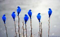 7 blauwe vogels op een rij