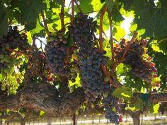 Wine Talk: Sterling Vineyards
