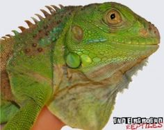Baby Green Iguana For Sale