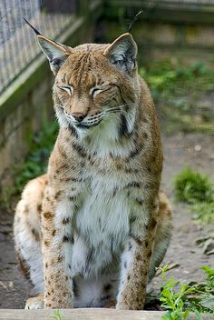 Big cats Lynx, my cat makes the same satisfied smile.