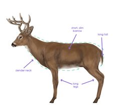 How to Draw Animals: Deer - Species and Anatomy Deer Photos, Deer Pictures, Animal Drawings, Cool Drawings, Draw Animals, Wild Animals, Deer Sketch, Deer Species, Drawing Games