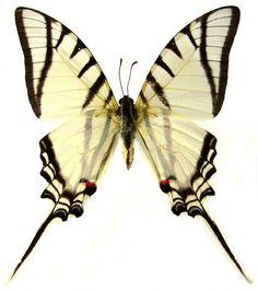 Eurytides protesilaus nigricornis - WHITE KITE SWORDTAIL