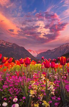 Valley Tulips, Interlaken, Switzerland