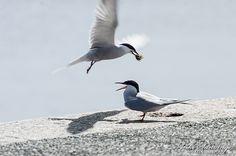 Common Tern / Sterna hirundo