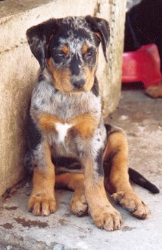 beauceron arlequin Unique Dog Breeds, Rare Dog Breeds, Popular Dog Breeds, Big Dogs, Cute Dogs, Dogs And Puppies, Doggies, Leopard Dog, Herding Dogs