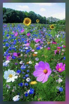 and wild roses. - Sunflowers and wild roses. - Sunflowers and wild roses.