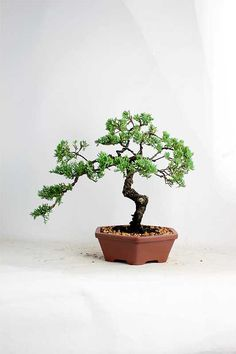 "Juniper procumbens nana bonsai tree ""Summer Shohin Collection""by LiveBonsaiTree by LiveBonsaiTree on Etsy"