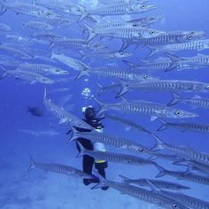 Making friends with hundreds of barracuda at the Great Barrier Reef a couple of days ago!!  #barracuda #GBR #greatbarrierreef #australia #christmasholiday #nitrox photo credit @timlindley by michelledigital http://ift.tt/1UokkV2