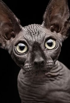 curious #sphynx #cat by Patrick Matte
