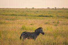 Zebra, Nambiti Hills, SA