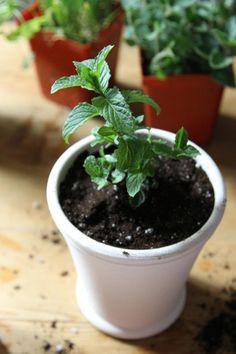 Hierbas aromáticas de sombra 3