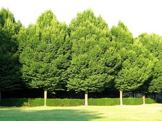 European Hornbeam Trees in fall | Double click on above image to view full picture