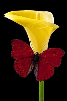 Red Butterfly and Yellow Calla Lily