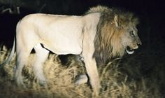 What does the fact that only 250 lions are left in West Africa really mean?  Besides the issue of this particular population of lions having a unique genetic composition, not found in any zoo lions or other free populations, it means that grazing animals are increasing rapidly without any predators and reducing the savanna cover. This is changing both the ecology and biodiversity of the ecosystem rapidly, much to the detriment of the savannah.