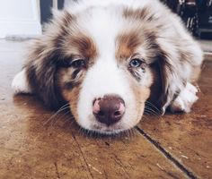 16 Pictures That Perfectly Sum Up What It's Like To Own An Australian Shepherd