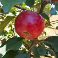 Apple Tree - Victoria Limbertwig - Organic Heirloom