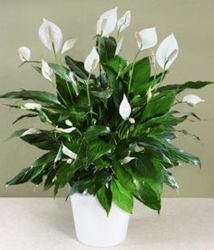 Peace lily, natural air purifier and virtually impossible to kill (I've had mine for 5 years :-))