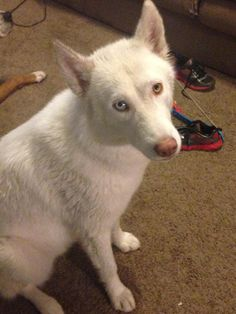 Doc-Courtesy Listing Not at Shelter is an adoptable Siberian Husky searching for a forever family near Cedar Rapids, IA. Use Petfinder to find adoptable pets in your area.