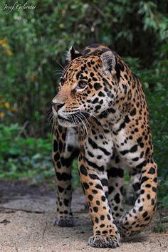 Jaguar  (by Josef Gelernter on 500px)