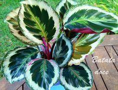 Batata doce: #Calathea #plantasdeinterior #plantas