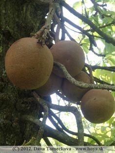 canonball tree - fruits Botanical Gardens, Sri Lanka, Landscaping, Fruit, Yard Landscaping, Landscape Architecture, Garden Design, Landscape Design
