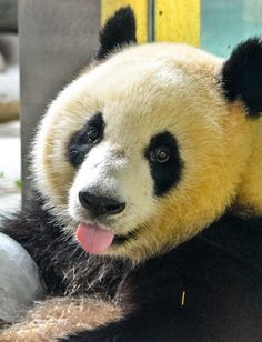 Giant panda cooling off in the summer heat with an ice cube - Chengdu Research Base of Giant Breeding Panda, China