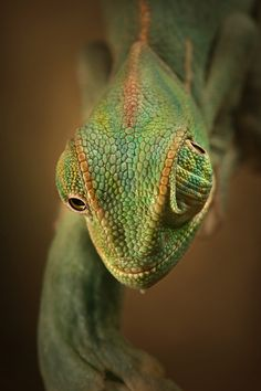 earth-song: One of many reasons chameleons are such cool creatures. by igor siwanowicz Chameleon Care, Veiled Chameleon, Geckos, Reptiles And Amphibians, Mammals, Salamander, Earth Song, Komodo Dragon, Nature Animals
