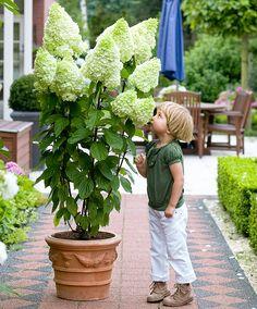 Ortensia Magical Moonlight - Hydrangea Paniculata #giardinaggio #piante