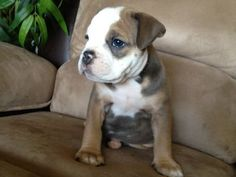 Olde English Bulldogge: Blue Tri female available now for $2500.  Call with any questions #208-412-3178 or check out website www.bluediamondbullys.com