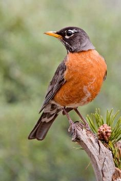 Robins follow me when I work in the yard. They know I stir up worms & bugs.