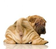 shar pei~ i think this is the only time to say what a cute wrinkly butt in a none gross manner