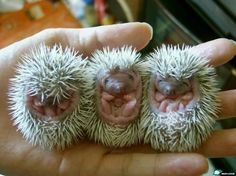 Baby Hedgehogs-OMG Cute!  @Allison Patton does this gross you out?