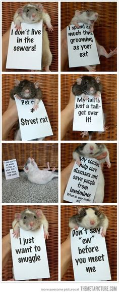 Rats are misunderstood creatures. I used to have one, and he was lovely - sweet and friendly and affectionate.