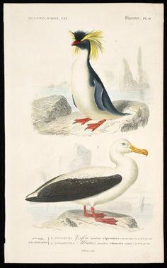 Travies, Edouard, 1809-1868? :6eme ordre - Palmipedes. 1. Plongeurs; Gorfou sauteur (Aptenodytes chrysocoma, Gm) 1/4 ...