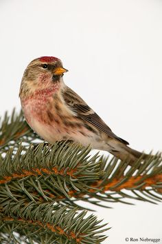Redpoll __ Sizerin flammé, Alaska ----- The redpolls are a group of small passerine birds in the finch family Fringillidae which have characteristic red markings on their heads.