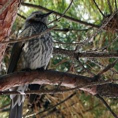 【minjae8509】さんのInstagramをピンしています。 《ひとり。。いっぴき . #직박구리 #새 #조류 #ひよどり#鵯 #鳥 #bird #animal #動物 #동물 #sel90m28g #sony #a6500 #소니 #ソニー #BrownearedBulbul #nature #자연 #自然 #山 #森 #山登り#사진 #포토》