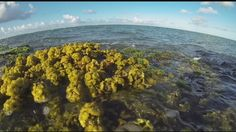 Seeding reefs with seaweed in Hawaii. Some interesting details like the seaweed being most fertile in winter and growing better if the water is agitated