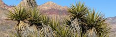 Yucca: Gardening Secrets from the Desert
