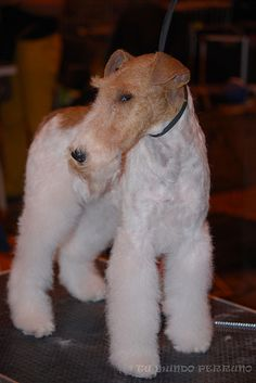 An elegant Wire-Haired Fox Terrier.