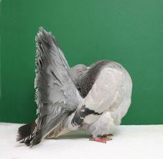 Fantail, Silver OH 2274, Jamie Purpura