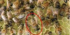 رقص النحل احد لغة التواصل في طائفة النحل وظائفه و طرق أدائه من نحلة احلى عالم