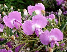 Podalyria calyptrata | Flickr - Photo Sharing!
