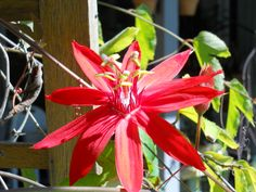 There are prettier photos of red passion flowers out there and there are prettier red passion flowers, too, but this one has the advantage of having been taken in my garden. Spring has sprung here... at least in some places.