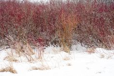 red and orange winter foliage and yellow grasses covered in a fresh
