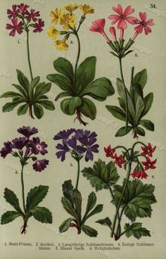 flora alpina de 1910 original color litografía impresión arte antiguo clip Decor botánico natural historia del arte