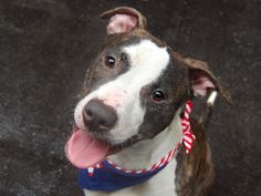 TO BE DESTROYED SAT, 06/07/14  Manhattan Center -P  GUMBALL  A1001628  Male br brindle/white pit bull mix.  2 YRS old.    STRAY 5/31/14  This slender sweetheart has a personality that's still very puppy-like, Gumball really wants to be loved & will constantly seek out attention and affection, he's not a 'cuddler' exactly but when he looks you know he craves comapnionship!. Playful, likely house trained. Just waiting for someone up to some positive puppy training. You won't be sorry!!!