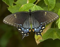 eastern_black_swallowtail