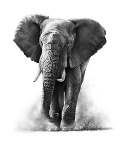 Richard Symonds wildlife art gallery and online shop Tiger Drawing, Tiger Painting, Painting & Drawing, Elephant Tattoos, Elephant Art, Animal Tattoos, Elephant Sketch, African Elephant, Elephant Drawings