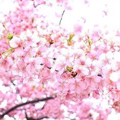 【i_sea___】さんのInstagramをピンしています。 《. . . 今日はいっぱい写真撮れたから下がっていた投稿率も上がりそう . . . #桜#写真#canon#eos#instagram#team_jp_#ig_japan#photooftheday#cherryblossom#reco_ig#写真撮ってる人と繋がりたい#ファインダー越しの私の世界》